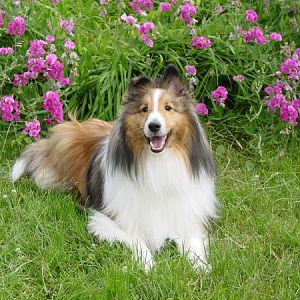 Beautiful Trevor.  The Sheltie that inspired Sheltie Nation & the Sheltie Forums.