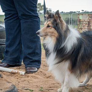 SouthAussieShelties Herding Try Aug 7 2016_40_LoRes