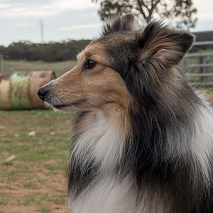 SouthAussieShelties Herding Try Aug 7 2016_42_LoRes