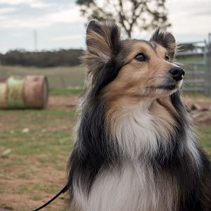 SouthAussieShelties Herding Try Aug 7 2016_43_LoRes