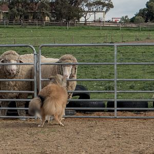 SouthAussieShelties Herding Try Aug 7 2016_46_LoRes