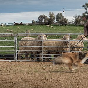 SouthAussieShelties Herding Try Aug 7 2016_47_LoRes