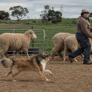 SouthAussieShelties Herding Try Aug 7 2016_48_LoRes