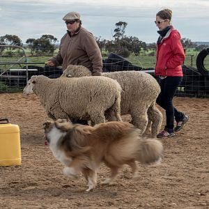 SouthAussieShelties Herding Try Aug 7 2016_49_LoRes