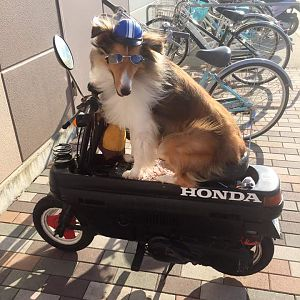Sheltie in Nigata